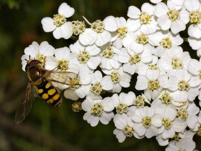 Pequeña abeja en cumulo de milenrama
