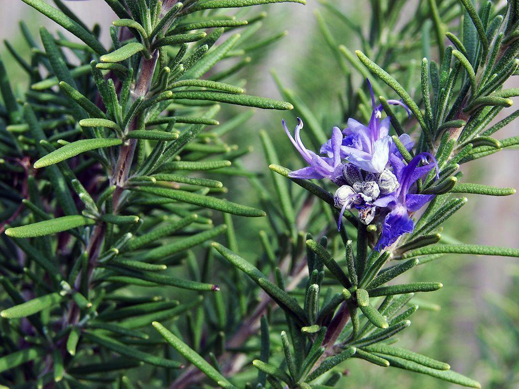 Planta de romero con flor