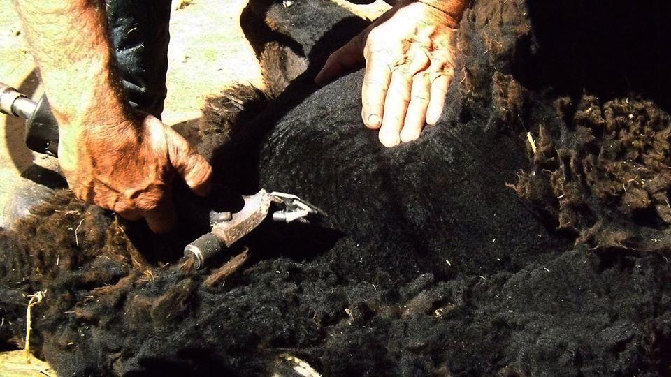Proceso de esquilado durante elaboración de una manta de lana de oveja.