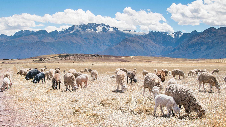 Rebaño de ovejas de raza merina