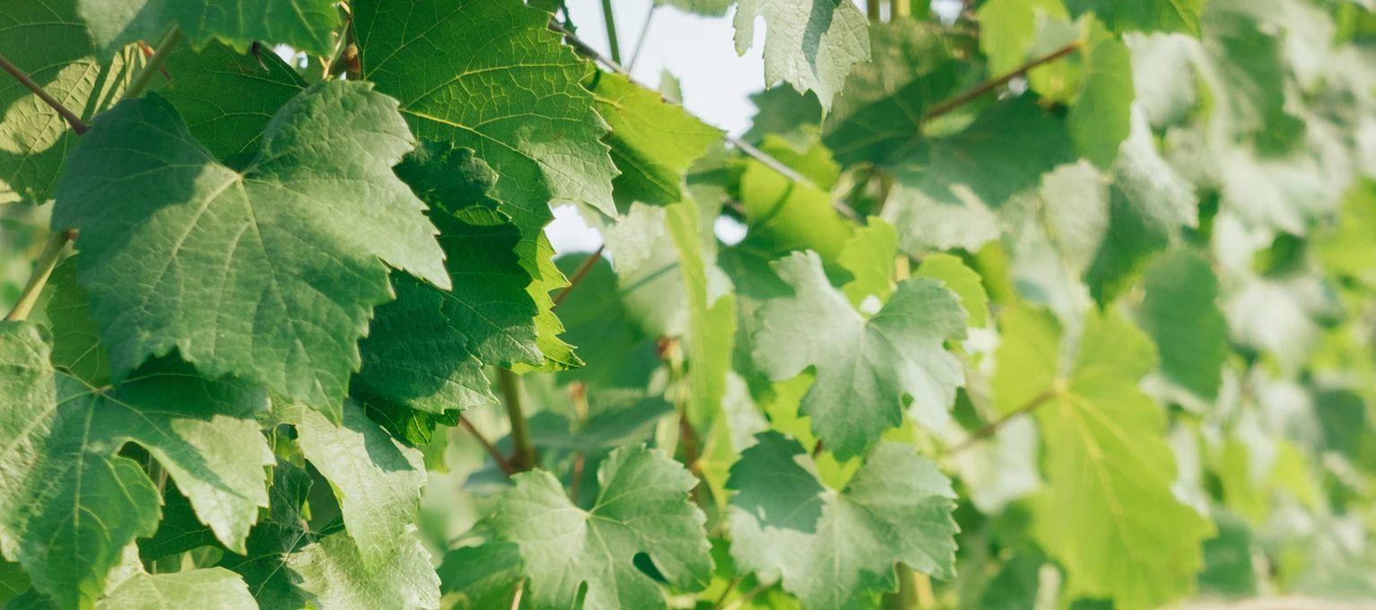 Parra de uva