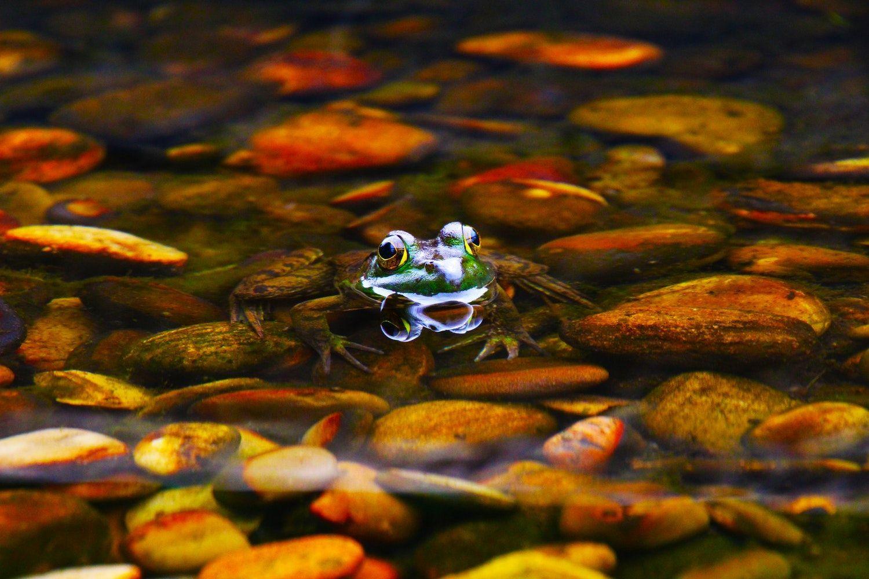 Rana en un río