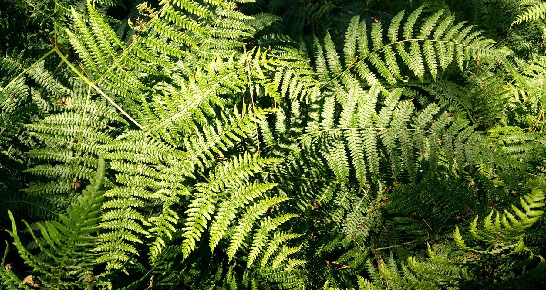 hojas de helecho gallego